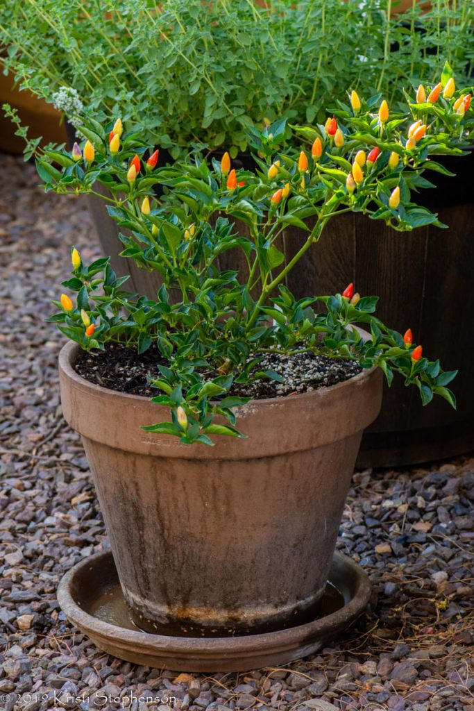 Ordono Chile growing in pot