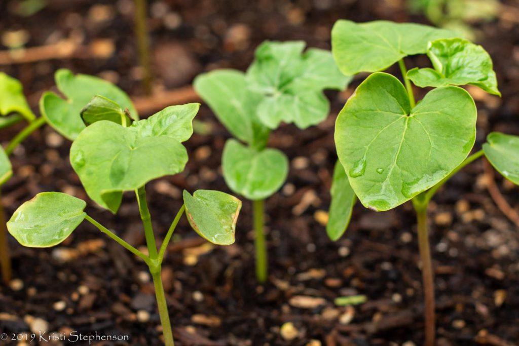 Buckwheat seedlings