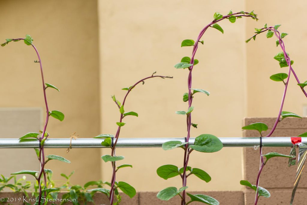 Malabar spinach - tops of vines