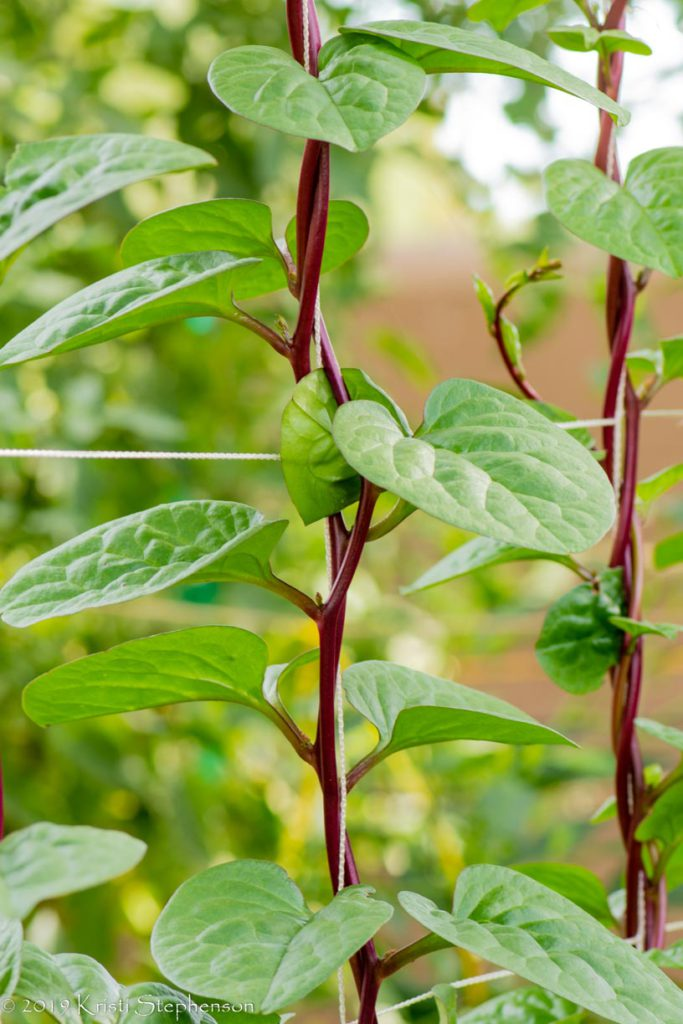 Malabar spinach - colorful